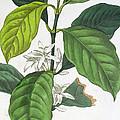 Coffea Arabica by Pancrace Bessa