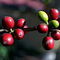 Coffee Beans by Pamela Walton