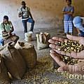 Coffee Beans Santo Domingo by John Lee Montgomery III