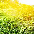 Coffee Plantation Sunny Background by Anna Om