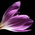 Colchicum #4 by Judy Whitton