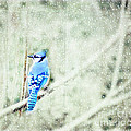 Cold Day For A Blue Jay by Peggy Franz