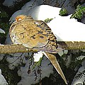 Cold Dove by MTBobbins Photography