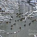 Cold Ducks by Timothy Hacker