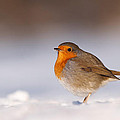 Cold Fee Warm Light Robin in the Snow by Roeselien Raimond