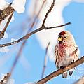Cold Redpoll by Cheryl Baxter