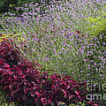 Coleus And Lavender by Sharon Talson