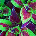 Coleus Color by MTBobbins Photography
