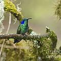 Colibri Thalassinus... by Nina Stavlund