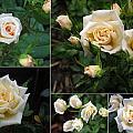 Collage Cream Pot Rose by Helene U Taylor
