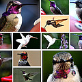 Collage Of Hummers 2 by Jay Milo