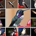 Collage Of Hummers by Jay Milo