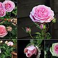 Collage Pink Pot Rose by Helene U Taylor