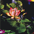 Sunset Lily by Joel Zimmerman