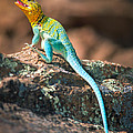 Collared Lizard by Inge Johnsson