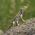 Collared Lizard by Tom Janca