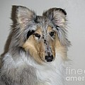Collie by David Grant
