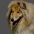 Collie Dog by Linsey Williams