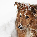 Collie In The Snow by Jeannette Hunt