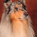 Collie Portrait by Randi Grace Nilsberg