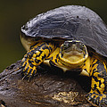 Colombian Wood Turtle Amazon Ecuador by Pete Oxford