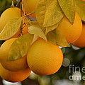 Super Bright Oranges On A Branch by Luv Photography