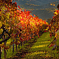 Color On The Vine by Bill Gallagher