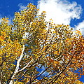 Colorado Aspens And Blue Skies by Amy McDaniel
