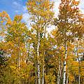 Colorado Autumn Aspens  by James BO Insogna