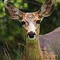 Colorado Deer by Ronnie Glover