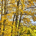 Colorado Fall Aspens 2 by Angelina Vick