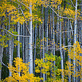 Colorado Fall Color by Inge Johnsson