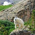 Colorado Mountain Goat by Danielle Marie