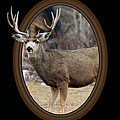 Colorado Muley by Shane Bechler