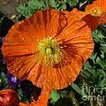 Colorado Poppy by Rincon Road Photography By Ben Petersen