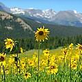 Colorado Wildflowers by Danielle Marie