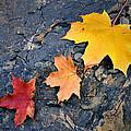 Colored Maple Leaf On Stone by Jozef Jankola