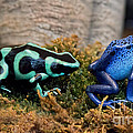 Colorful But Deadly Poison Dart Frogs by Barbara McMahon