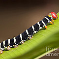 Colorful Caterpillar by Brandon Alms