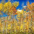 Colorful Colorado Autumn Aspen Trees by James BO  Insogna