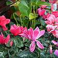 Colorful Cyclamen by Carla Parris