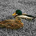 Colorful Ducks by Michael Porchik
