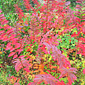 Colorful Fall Leaves Autumn Crepe Myrtle by Rebecca Korpita