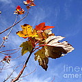 Colorful Fall Leave's With Blue Sky by Robert D  Brozek