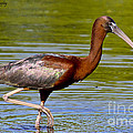 Colorful Glossy Ibis by Barbara Bowen