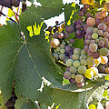 Colorful Grapes Growing On Grapevine by Jit Lim