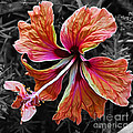 Colorful Hibiscus On Black And White 2 by Kaye Menner