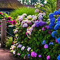 Colorful Hydrangea At The Gate. Giethoorn. Netherlands by Jenny Rainbow