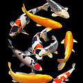 Colorful Japanese Koi Vertical by Gill Billington