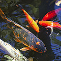 Colorful Koi by Kathy Clark